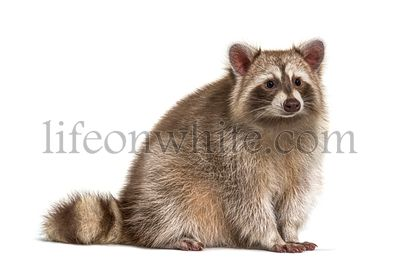 Red Raccoon looking away isolated on white