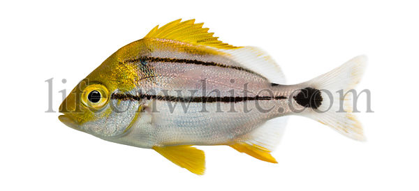 Side view of a Porkfish, Anisotremus virginicus, isolated on white