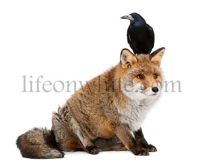 Old Red fox, Vulpes vulpes, 15 years old, and Rook, Corvus frugilegus, 3 years old, sitting against white background