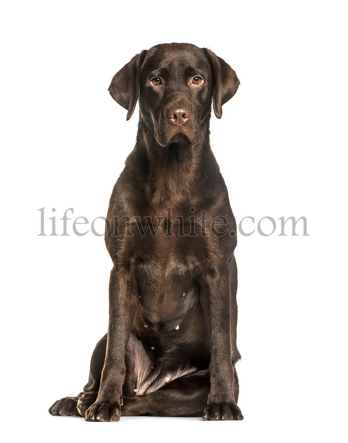 Chocolate Labrador sitting against white background