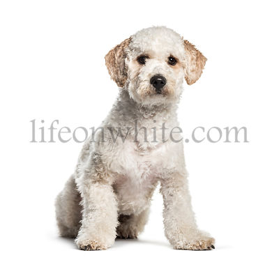 Labradoodle, 1 year old, sitting in front of white background