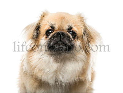 Close-up of a Tibetan Spaniel, isolated on white, 2 years old