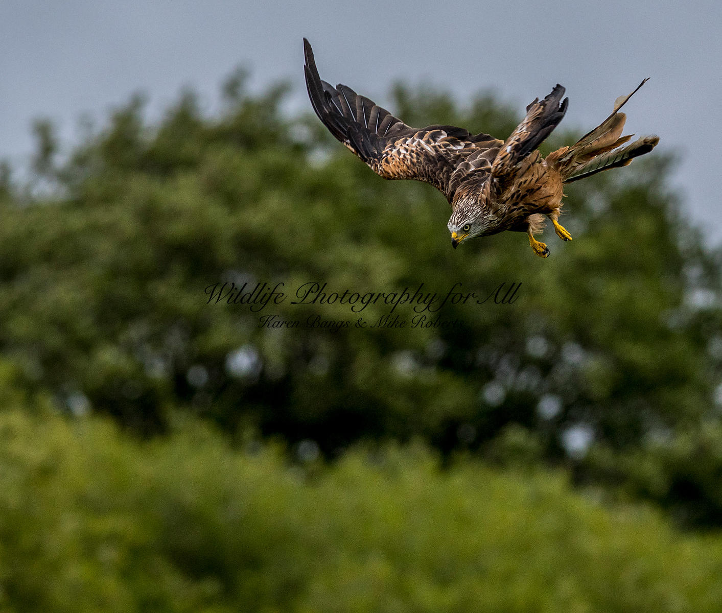 Red Kite - Mike Roberts