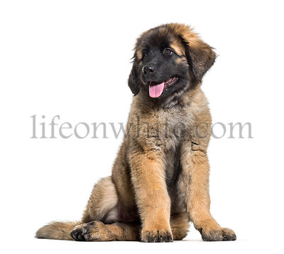 Leonberger puppy sitting and panting against white background