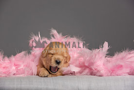 2 week old golden retriever puppy laying under pink feather boa