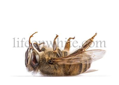 Dead bee, on its back, isolated on white