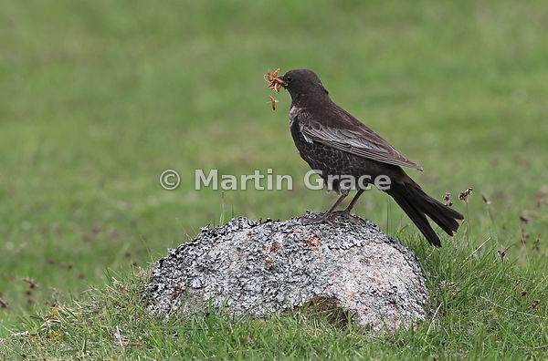 Ring Ouzel (Turdus torquatus) female with a large number of Mealworms (Tenebrio molitor) in her bill, and another one in mid-...