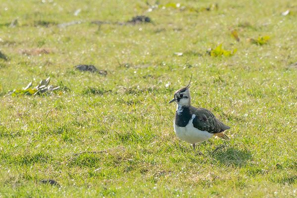Northern Lapwing on guard