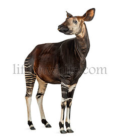Okapi standing, showing teeth, Okapia johnstoni, isolated on white