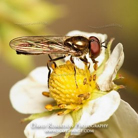 Image - Hoverfly on strawberry flower, Diptera Syrphidae