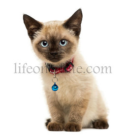 American Polydactyl kitten sitting, looking at the camera,3 months old, isolated on white