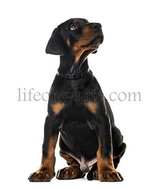 Doberman Pinscher sitting and looking up, 7 weeks old , isolated on white