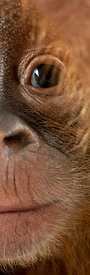 Panoramic close-up of baby Sumatran Orangutan, 4 months old
