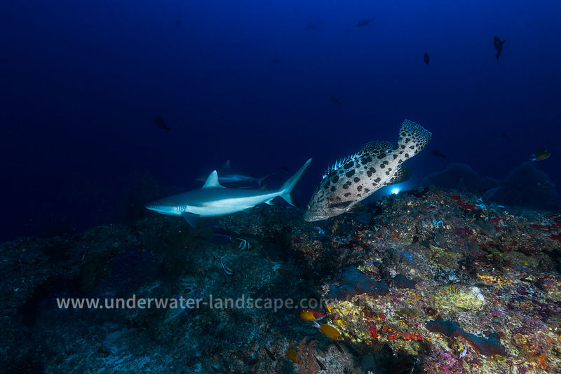 Grey reef shark and Potato grouper