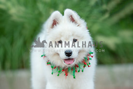 close up of Samoyed puppy wearing Christmas collar