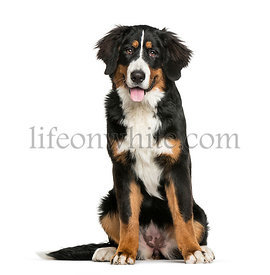 Bernese Mountain Dog, 6 months old, sitting in front of white background
