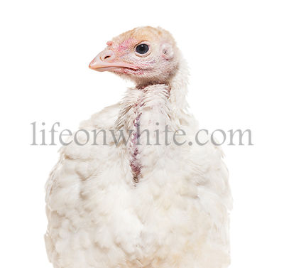 Young Turkey 3 months old, against white background