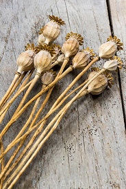 Papaver-Seed heads of Poppies against  wooden background