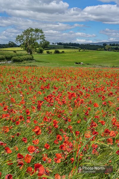 KIRKBY THORE 01B - Field of poppies