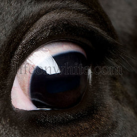 Close-up of Holstein Cow eye, 5 years old