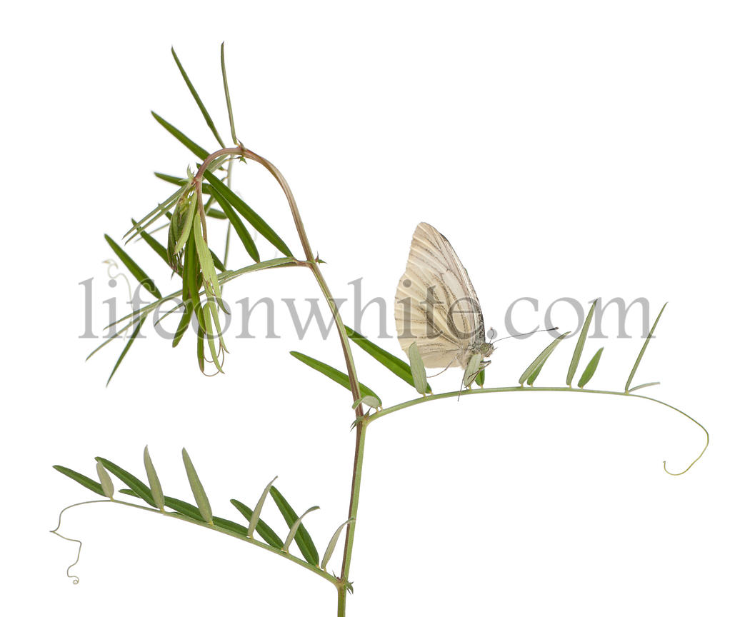 Green-veined White, Pieris napi, on plant in front of white background