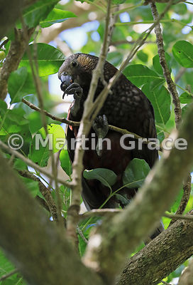 North Island Kaka (Nestor meridionalis ssp septentrionalis) in a native, endemic Puriri Tree (Vitex lucens), Kapiti Island, N...
