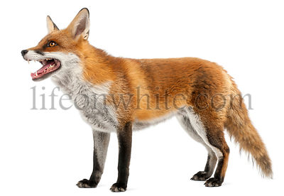 Red Fox, Vulpes vulpes, 4 years old, in front of white background
