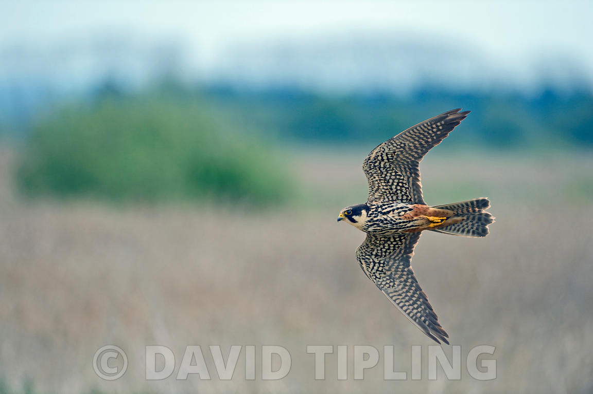 Hobby Falco subbuteo hunting over reedbed at Lakenheath Fen RSPB Reserve Norfolk / Suffolk border May