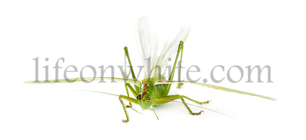 Female Great Green Bush-Cricket, Ettigonia viridissima in front of a white background