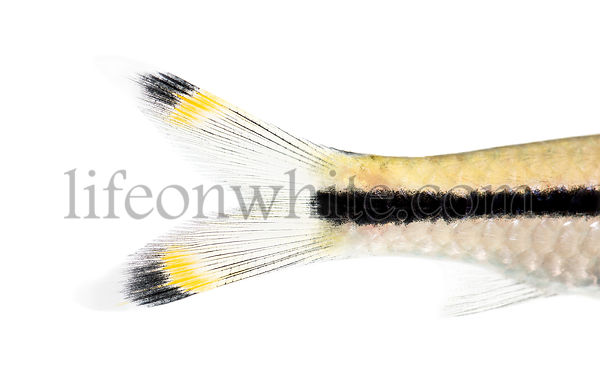 Macro of a Denison barb tail, Sahyadria denisonii, isolated on white