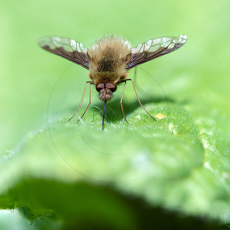 Grand Bombyle - Large bee fly (Bombylius major)
