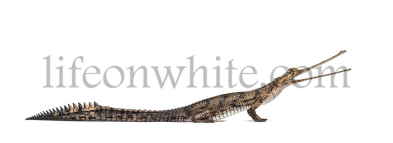 side viw of a Young Fish-eating crocodile, Gavial, Gavialis gangeticus, isolated on white