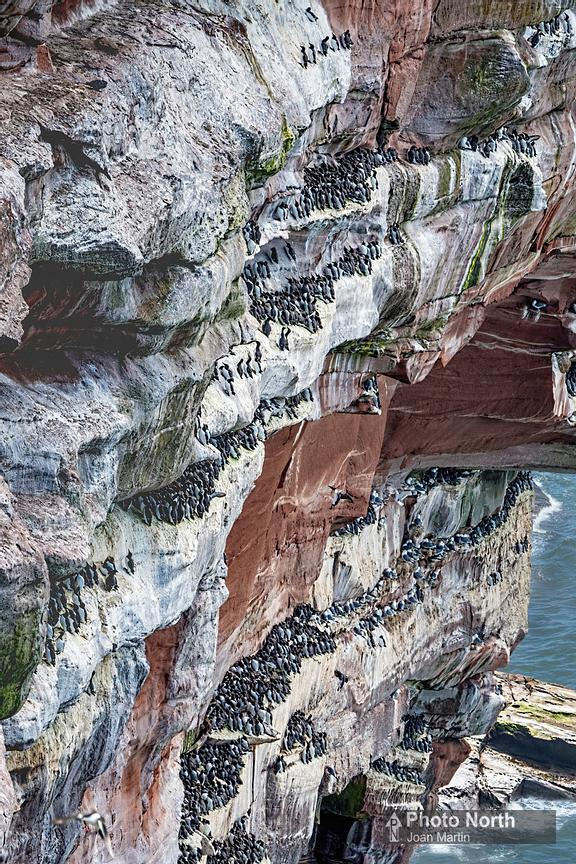 GUILLEMOT 04A - Guillemots on St Bees Head