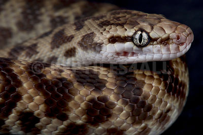 Pygmy banded python (Antaresia sp.)
