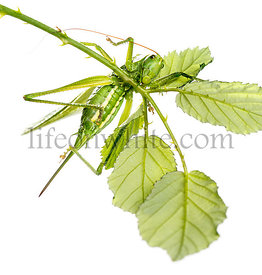 Female Great Green Bush-Cricket, Ettigonia viridissima, on a branch in front of a white background