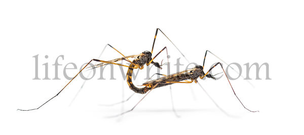 Two Crane fly, daddy-longlegs, mating, isolated on white