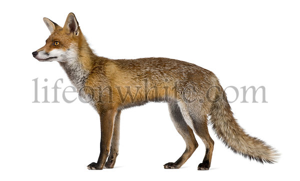Side view of Red Fox, 1 year old, standing