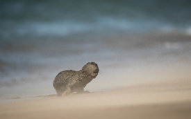 Cape Fur Seal Pup, Namib Desert