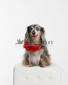 Crazy looking shaggy dachshund with a red party collar sits on white leather cube and smiles