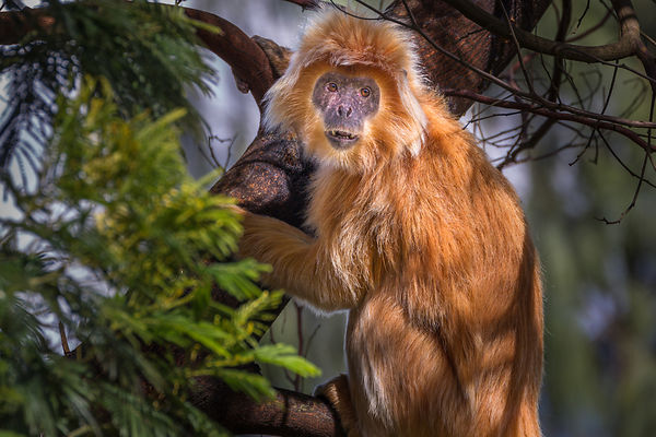 Eastern Javan Langur With Rare Golden Morph