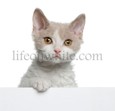 Selkirk Rex kitten, 11 months old, coming out of a box in front of white background
