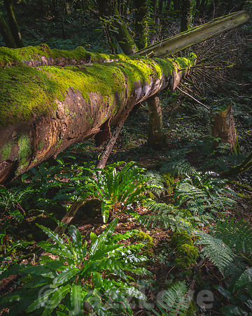 Fallen tree covered with moss in woodland lit by morning sunlight.