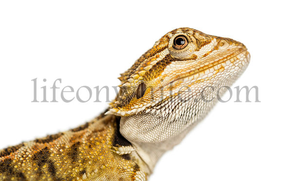 Close-up of a Bearded Dragon\'s profile, Pogona vitticeps, isolated on white