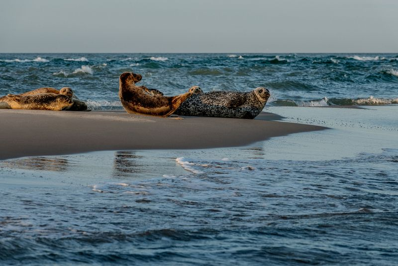 Seals in Skagen, Denmark 8