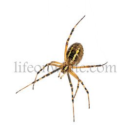 Wasp spider viewed from below, Argiope bruennichi, isolated on white