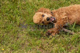 A small poodle mix chewing on a stick in the grass