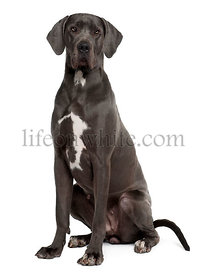Great Dane, 2 years old, sitting in front of white background