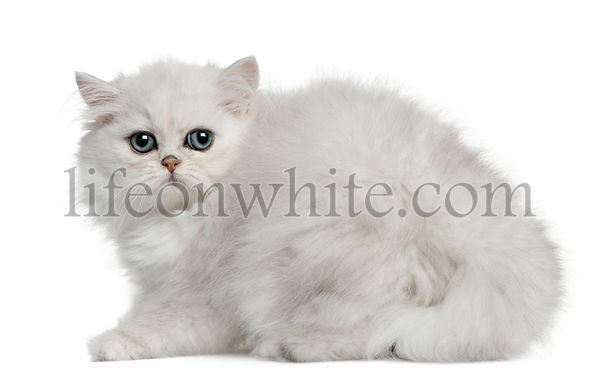 Persian cat, 3 months old, sitting in front of white background