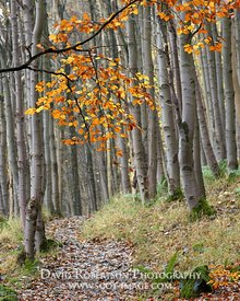 Prints & Stock Image - Path through Wood Hill Wood, Alva, Ochil Hills, Clackmannanshire, Scotland.