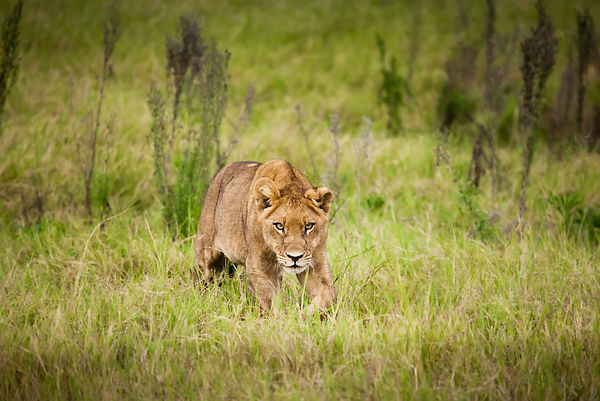 Young lion sneaking up in grass in Duba Plains, Okavango delta, northern Botswana.